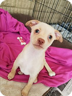 Maltese/Chihuahua Mix Puppy for adoption in Cave Creek, Arizona - Gerald