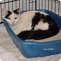 Adopt A Pet :: Joker - Sunrise Beach, MO