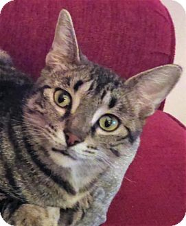 Domestic Shorthair Cat for adoption in St.Ann, Missouri - Phoenix Bird