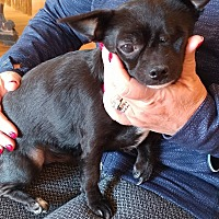 Adopt A Pet :: Herbie - Matthews, NC