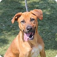 Adopt A Pet :: Sugar - Greensboro, NC