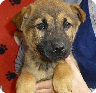Golden Retriever/German Shepherd Dog Mix Puppy for adoption in Oviedo, Florida - Montana