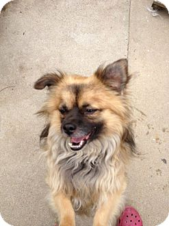 Tibetan Spaniel/Pekingese Mix Dog for adoption in SO CALIF, California - Bosley