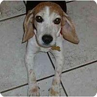 Adopt A Pet :: Roxie Sue - Phoenix, AZ