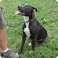 Adopt A Pet :: Mercy - Springfield, IL
