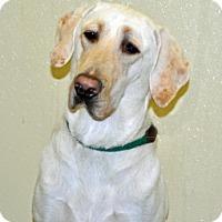 Adopt A Pet :: Brownie - Port Washington, NY