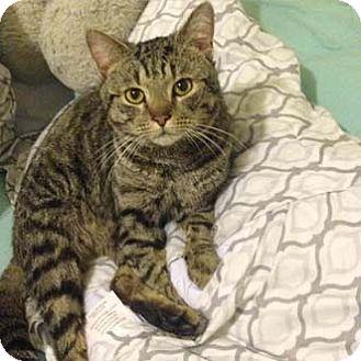 Domestic Shorthair Cat for adoption in Merrifield, Virginia - Pepsi