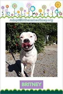 Dalmatian/American Staffordshire Terrier Mix Dog for adoption in Houston, Texas - Britney