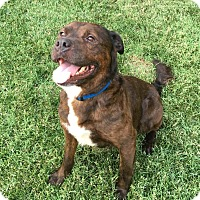American Pit Bull Terrier/American Bulldog Mix Dog for adoption in oklahoma city, Oklahoma - Marty