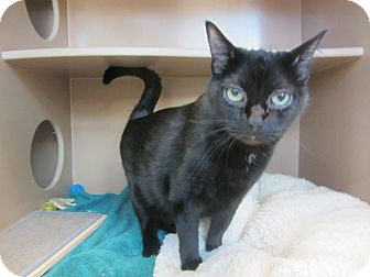 Domestic Shorthair Cat for adoption in Kingston, Washington - Jet