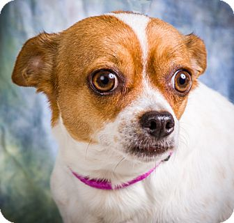Chihuahua Mix Dog for adoption in Anna, Illinois - TAFFY