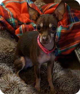 Chihuahua Mix Dog for adoption in AUSTIN, Texas - Luna
