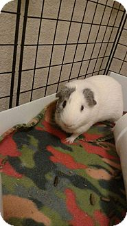 Guinea Pig for adoption in Fort Worth, Texas - Marble
