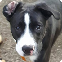 Adopt A Pet :: Boomer - Akron, OH
