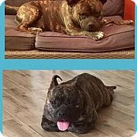 Adopt A Pet :: Stubby - Tucson, AZ