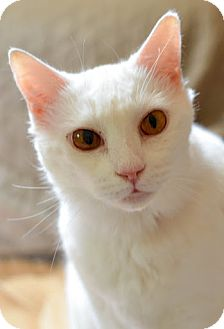 Domestic Mediumhair Cat for adoption in Alexandria, Virginia - Fondu