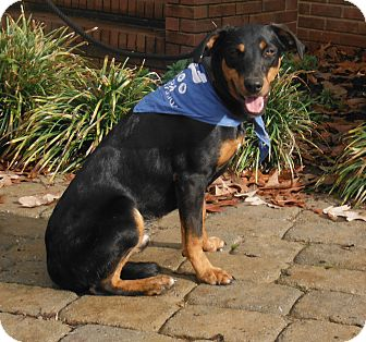 Miniature Pinscher/Labrador Retriever Mix Dog for adoption in Adamsville, Tennessee - Bobby~Chaplin, CT