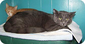 Domestic Shorthair Cat for adoption in Dover, Ohio - Hans