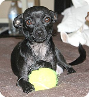 Chihuahua/Italian Greyhound Mix Dog for adoption in Bellflower, California - Bella