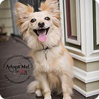 Adopt A Pet :: Foxxy and Bella - Houston, TX