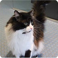 Adopt A Pet :: Noireau - Verdun, QC