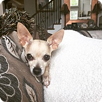 Adopt A Pet :: Vinny - Chicago, IL