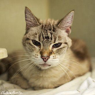 Siamese Cat for adoption in Los Angeles, California - Priscilla