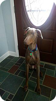 Doberman Pinscher Dog for adoption in Bath, Pennsylvania - Hercules