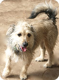 Schnauzer (Miniature) Mix Dog for adoption in Bedminster, New Jersey - Chance - MEET ME!