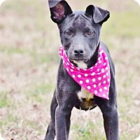 Adopt A Pet :: piper-pending adoption - Manchester, CT