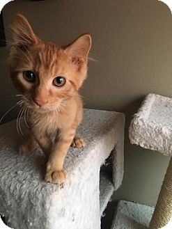 Domestic Shorthair Kitten for adoption in Jerseyville, Illinois - Jack