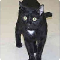 Domestic Shorthair Cat for adoption in Milwaukee, Wisconsin - Teddy Bear