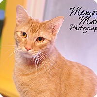Domestic Shorthair Cat for adoption in Topeka, Kansas - Hopper