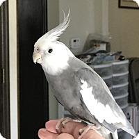Adopt A Pet :: Bob - St. Louis, MO