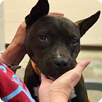 Adopt A Pet :: Ellie - New Kensington, PA
