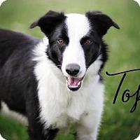 Adopt A Pet :: Topo - Joliet, IL