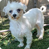 Maltese Dog for adoption in Memphis, Tennessee - Addie