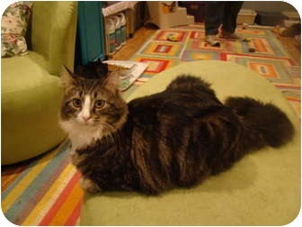 Maine Coon Cat for adoption in Muncie, Indiana - Delko--PETSMART