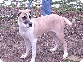 """Shepherd (Unknown Type) Mix Dog for adoption in New Castle, Pennsylvania - """" Sasha """""""