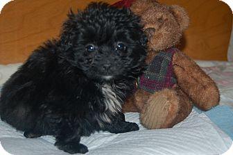Poodle (Toy or Tea Cup)/Dachshund Mix Puppy for adoption in Hazard, Kentucky - Bentley