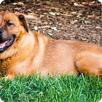 Adopt A Pet :: Sugar Bear Adoption Pending - Matthews, NC