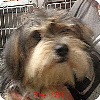 Cairn Terrier/Shih Tzu Mix Dog for adoption in Manassas, Virginia - Riley