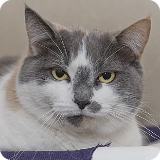 Domestic Shorthair Cat for adoption in Wilmington, Delaware - Rae