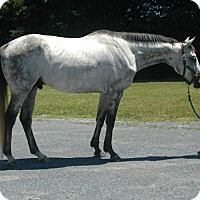Thoroughbred Mix for adoption in Lovettsville, Virginia - Secret