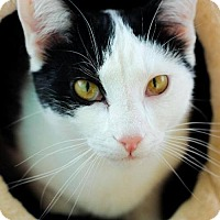 Domestic Shorthair Cat for adoption in Knoxville, Tennessee - Ramses  Male