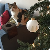 Calico Cat for adoption in Baltimore, Maryland - Kleo (COURTESY POST)