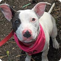 Adopt A Pet :: Cricket - Wilmington, DE