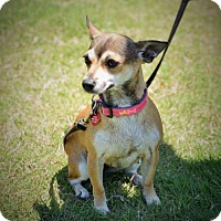 Adopt A Pet :: Molly Sweetheart - Tunica, MS