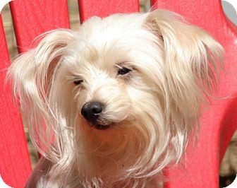 Maltese/Poodle (Miniature) Mix Dog for adoption in Afton, Tennessee - Lucas
