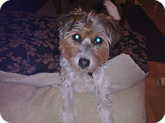 Jack Russell Terrier/Yorkie, Yorkshire Terrier Mix Dog for adoption in Montreal, Quebec - Fiona